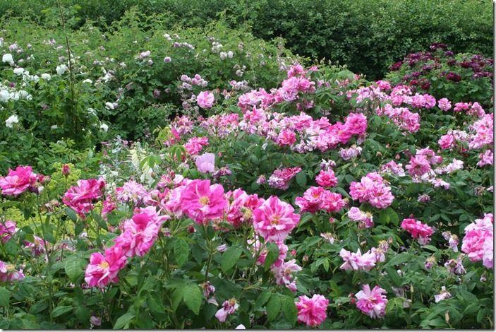 2 Rosa gallica versicolor (1024x683)