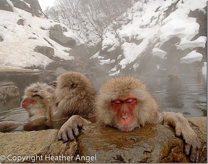 Snow monkeys relaxing in hot pool
