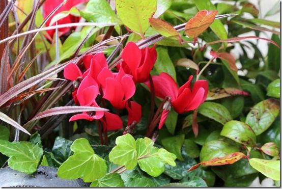 Mini cyclamen planter