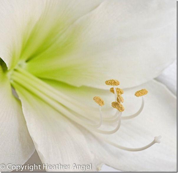 White Amaryllis flower showing floral parts