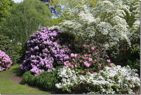 Rhododendrons and cornus at RHS Wisley