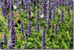 Agastache with bees