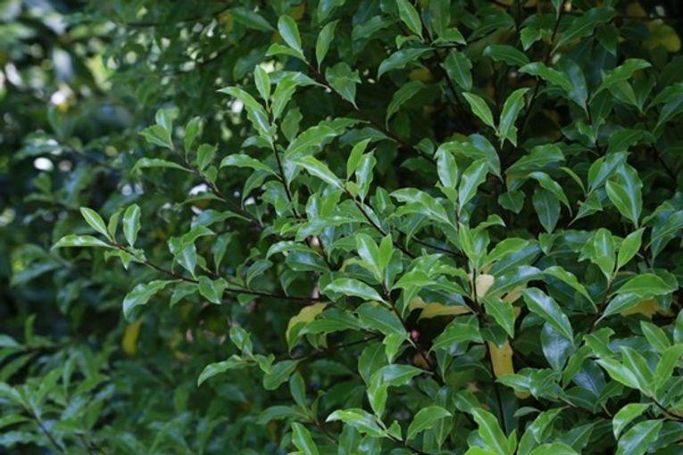 4  Pittosporum tenuifolium