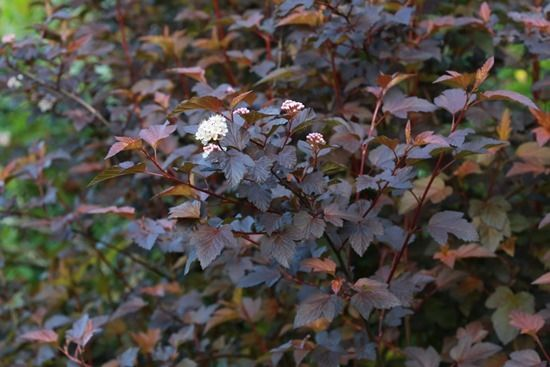 2  Physocarpus 'Diable d'Or'