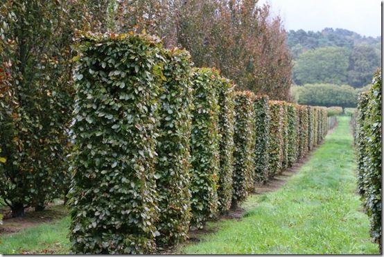 6. Fagus sylvatica 'Purpurea' columns