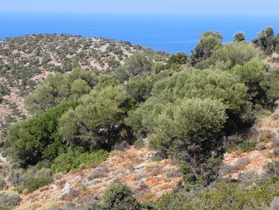 7 Wild olives in Crete (1280x960)