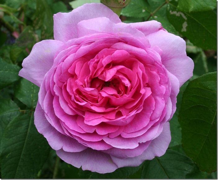8 Rosa 'Gertrude (1280x1058)