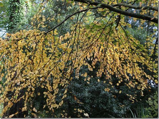 7. Cercidiphyllum japonicum