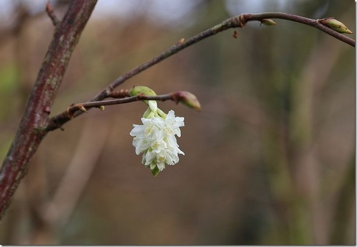 8 Ribes 'White Icicle'