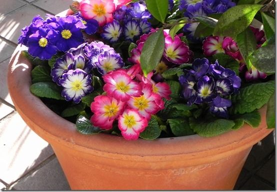 5 Pretty primroses colour a pot on the porch