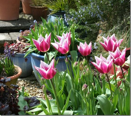 Tulips and pots