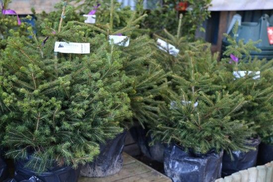 4 Potted Norway Spruce