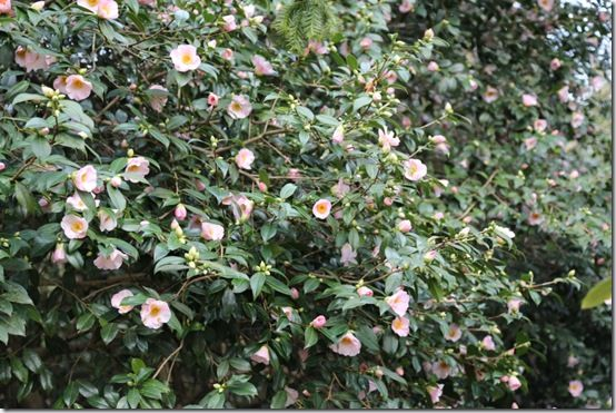 Camellia 'Elizabeth de Rothschild'