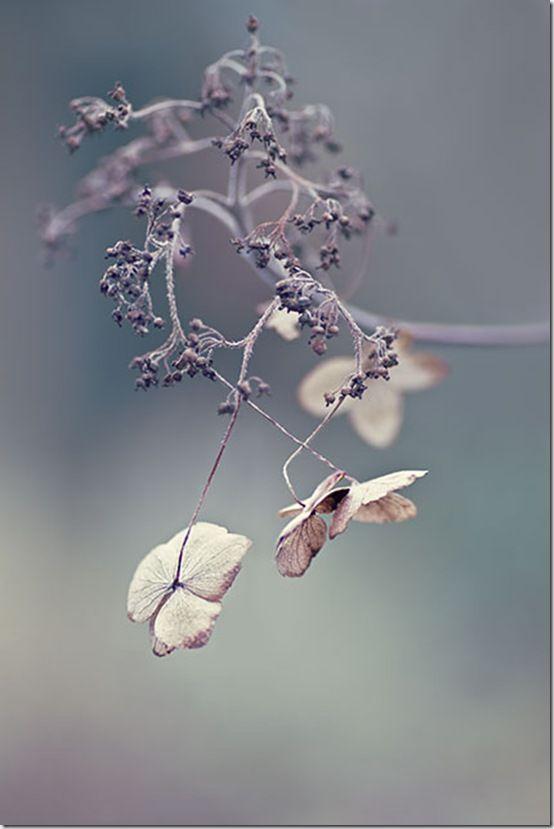 Hydrangea seedhead