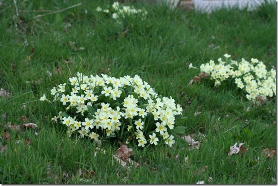 Primula vulgaris means growing wild