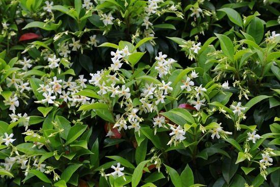 3 Trachelospermum jasminoides