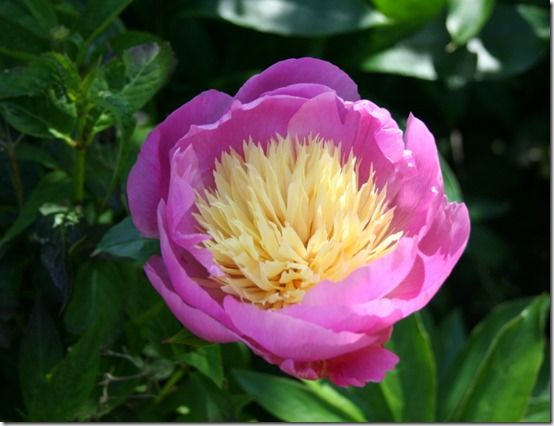 Paeonia 'Bowl of Beauty'