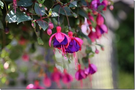 Large flowered fuchsia