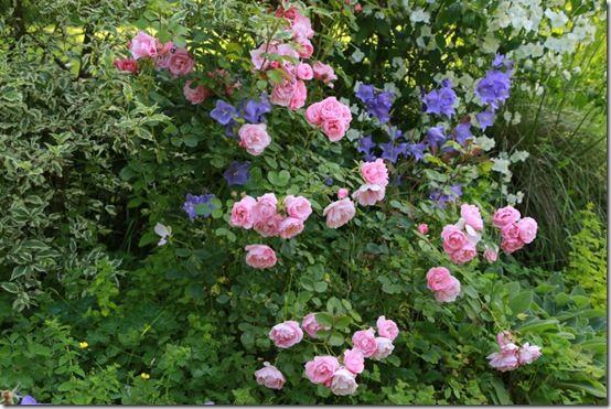 9 Rosa 'Bonica'