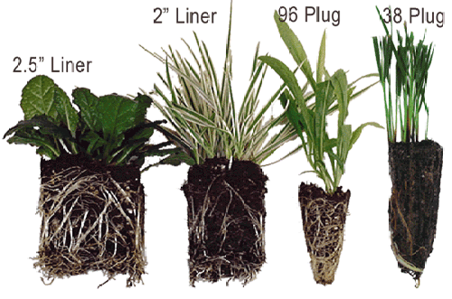 Plant 'plugs' are available online if you are buying in bulk, but will need potting + growing on undercover before being planted outside.