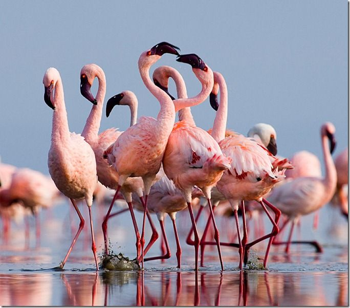 Lesser Flamingos (Phoeniconaias minor) group in display Lake Nakuru Rift Valley Kenya July