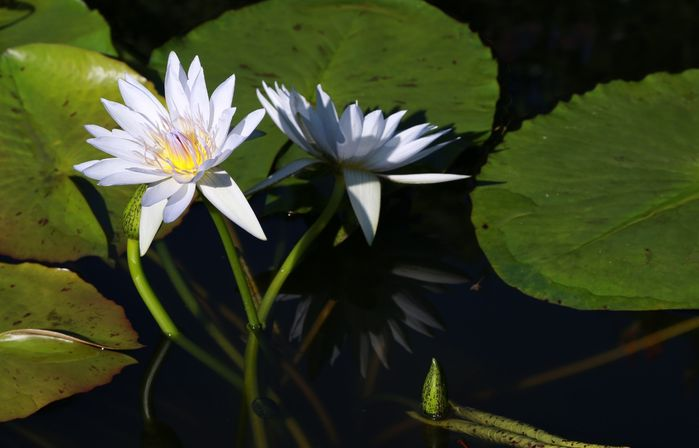 5 Tropical waterlily