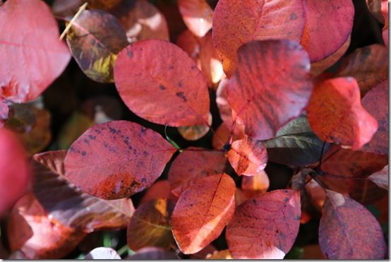 2 Cotinus 'Royal Purple' autumn
