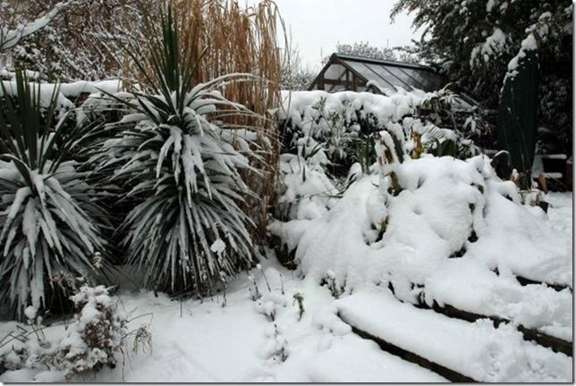 6 Cordylines in snow