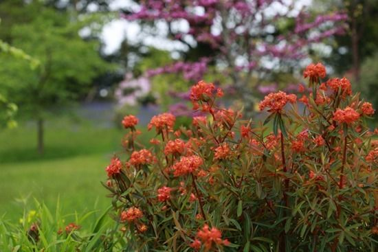 7 Euphorbia grifithii 'Fireglow'