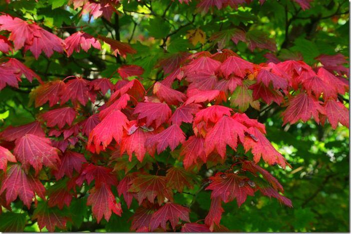 5 Acer japonicum