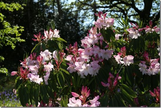 Rhododendron loderi