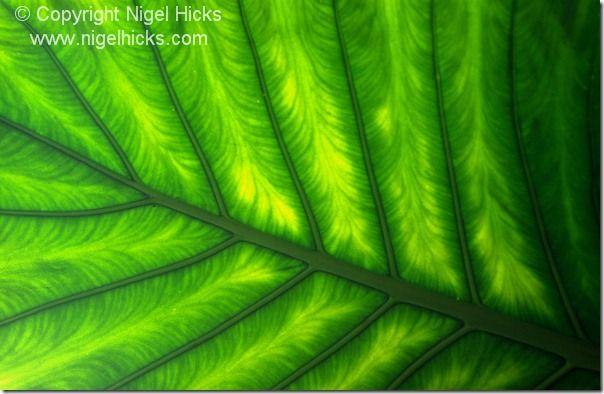 Giant wild yam leaf
