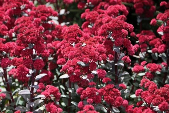 11 Sedum 'Red Cauli'