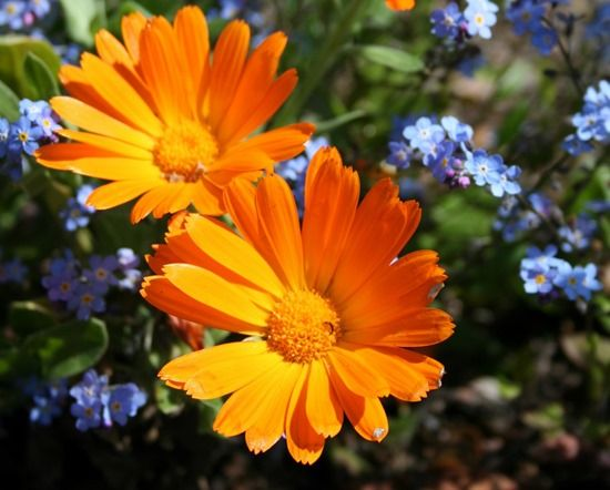 Companion planting how to deter pests and encourage beneficial the hardy pot marigold calendula looks at home in the vegetable garden or alongside vegetables in raised beds or containers the petals can be used as a mightylinksfo