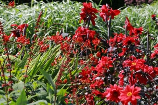 Crocosmias, cannas and dahlias