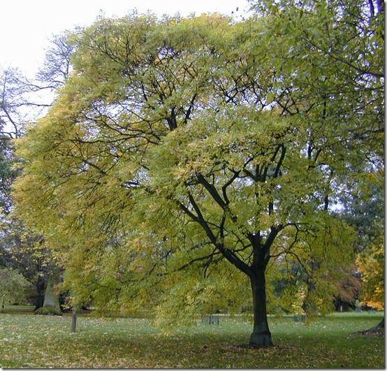 F. ornus mature Kew