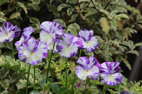 8 Viola 'Columbine'
