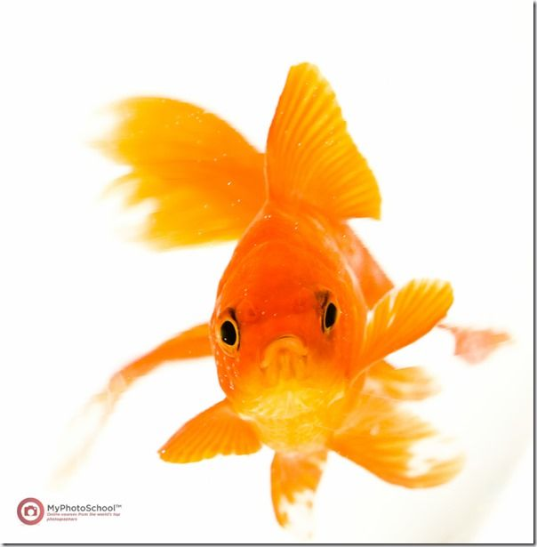 Goldfish, Pet Photography, How to, Animals, Selective focus