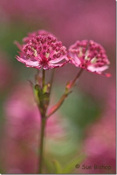 astrantia for rule of thirds