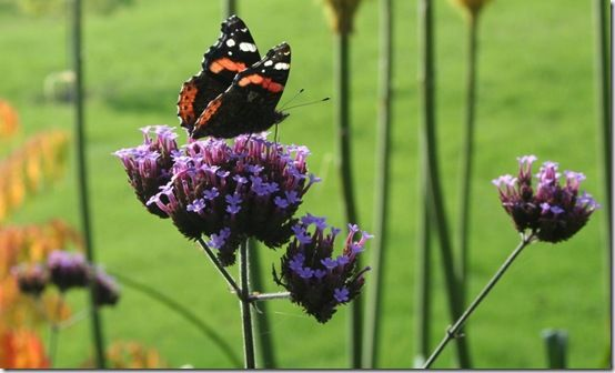 Verbena with butterfly 1