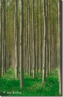 poplars vertical