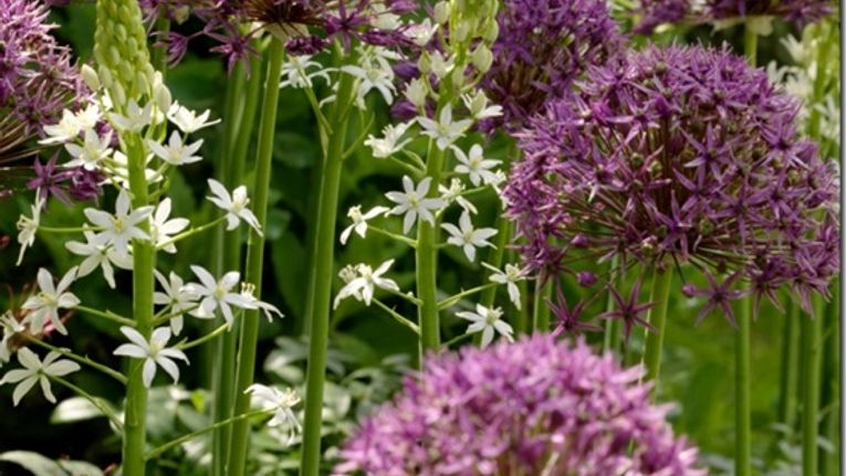 Where To Buy Alliums And Which Alliums To Plant Gardening