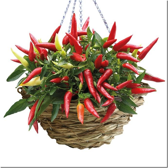 3 Chilli Hanging basket kit