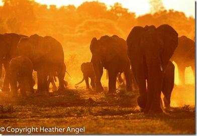 Elephants at dusk Botswana