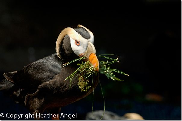 Tufted puffin carrying nesting material