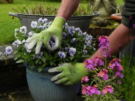 Deadheading bedding plants