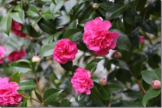 Opulent camellia