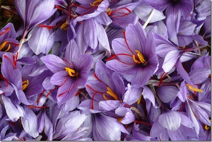 2 Saffron Crocus