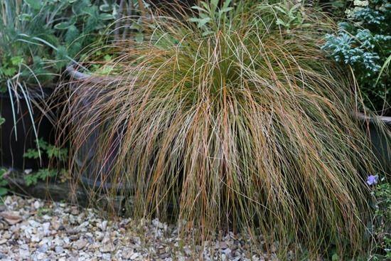 9 Carex testacea