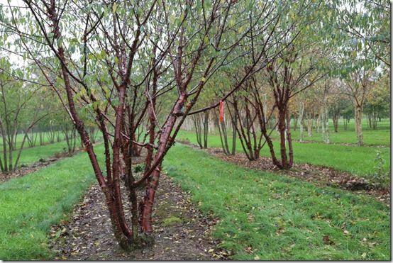 3.Prunus serrula